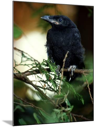 American Crow, British Columbia-Olaf Broders-Mounted Photographic Print