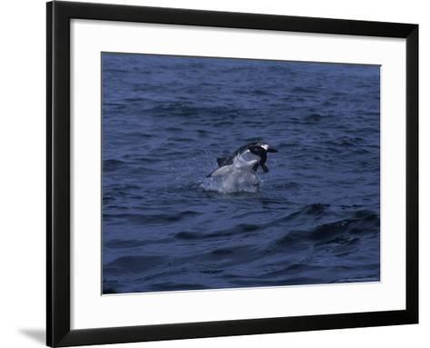 South African Fur Seal, Attacked by Shark-Gerard Soury-Framed Art Print