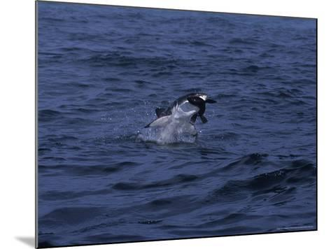 South African Fur Seal, Attacked by Shark-Gerard Soury-Mounted Photographic Print