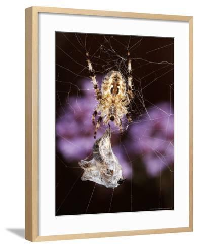 Garden Spider on Web with Prey, Middlesex, UK-O'toole Peter-Framed Art Print