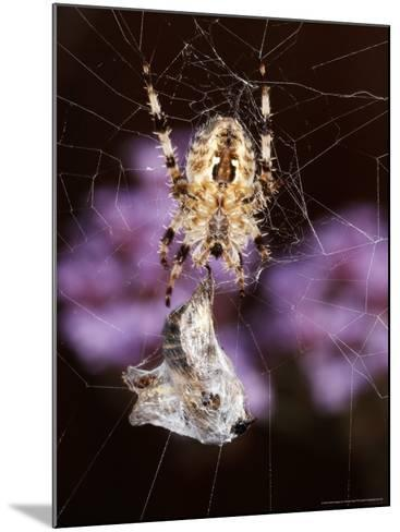 Garden Spider on Web with Prey, Middlesex, UK-O'toole Peter-Mounted Photographic Print