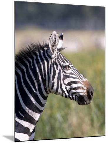 Burchells Zebra, Stallion Head Profile, Kenya-Mike Powles-Mounted Photographic Print