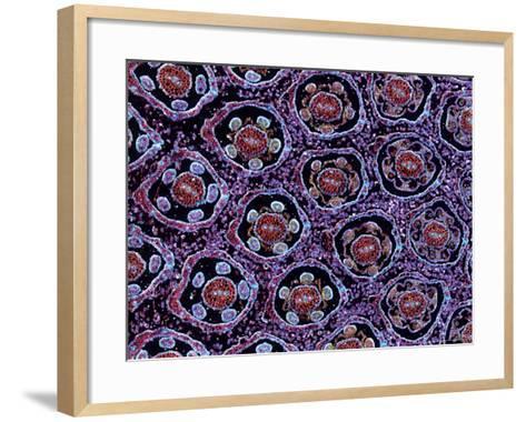 Dandelion Flower Head, Crepis Species, Showing Inflorescence Structures-Harold Taylor-Framed Art Print