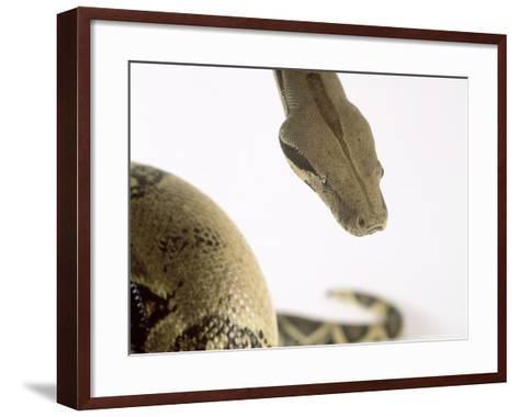 Common Boa, Boa Constrictor Imperator-Les Stocker-Framed Art Print