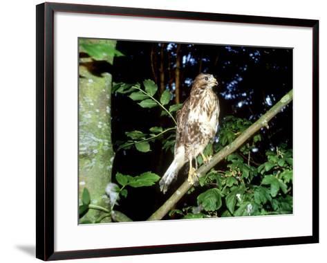 Common Buzzard, Young, England, UK-Les Stocker-Framed Art Print