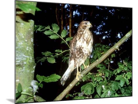Common Buzzard, Young, England, UK-Les Stocker-Mounted Photographic Print