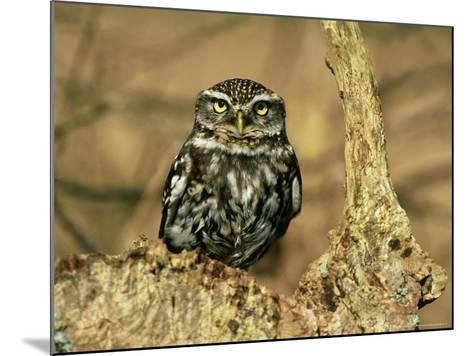 Little Owl, Hampshire-David Tipling-Mounted Photographic Print