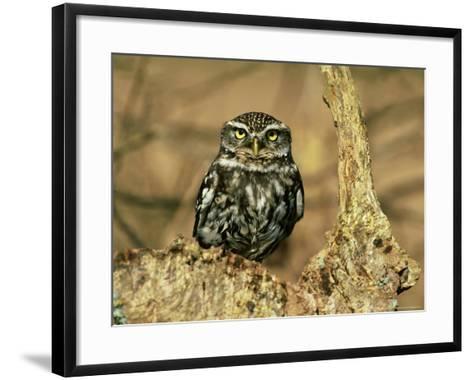 Little Owl, Hampshire-David Tipling-Framed Art Print