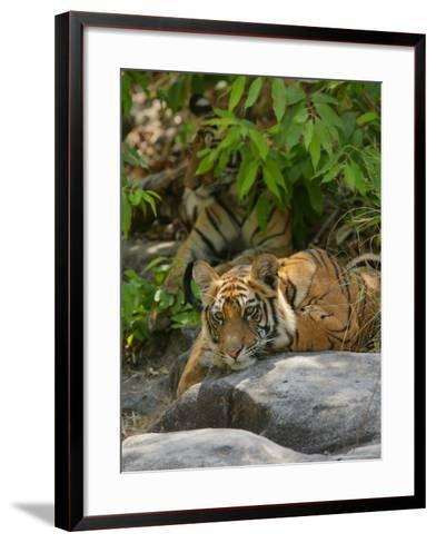 Bengal Tiger, 11 Month Old Cub on Rocks, Madhya Pradesh, India-Elliot Neep-Framed Art Print