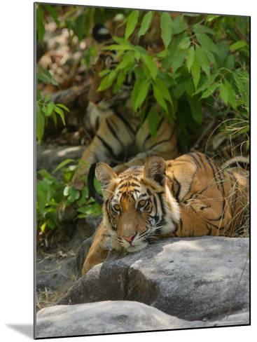 Bengal Tiger, 11 Month Old Cub on Rocks, Madhya Pradesh, India-Elliot Neep-Mounted Photographic Print