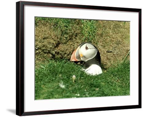 Puffin, Peering out of Hole, Shetland-David Tipling-Framed Art Print