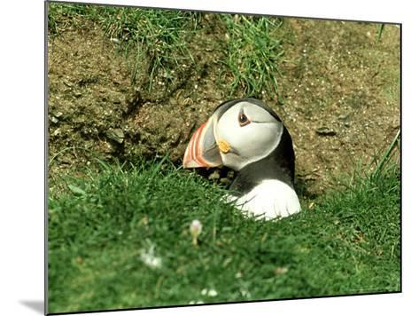 Puffin, Peering out of Hole, Shetland-David Tipling-Mounted Photographic Print