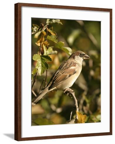 House Sparrow, Male Perching, Middlesex-Elliot Neep-Framed Art Print