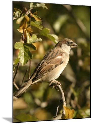 House Sparrow, Male Perching, Middlesex-Elliot Neep-Mounted Photographic Print