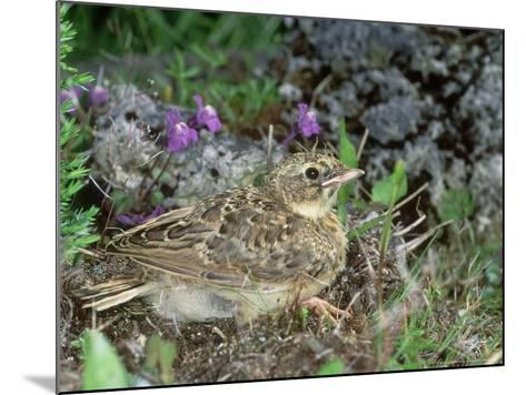 Skylark, Young-Les Stocker-Mounted Photographic Print
