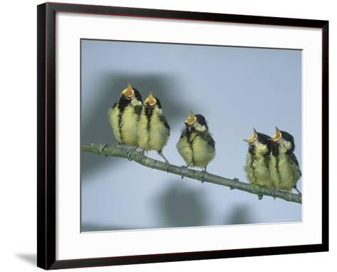 Great Tit, Young-Les Stocker-Framed Art Print