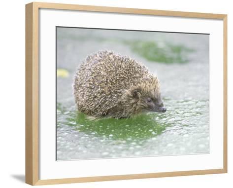 Hedgehog, UK-Les Stocker-Framed Art Print