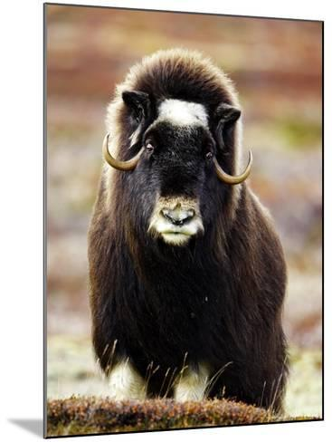 Musk Ox, Portrait of Adult Female on Tundra, Norway-Mark Hamblin-Mounted Photographic Print
