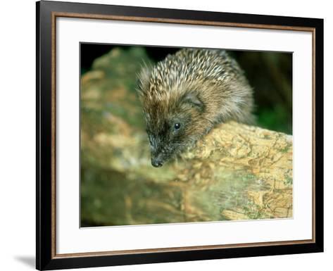 Hedgehog, Aylesbury, UK-Les Stocker-Framed Art Print