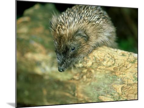 Hedgehog, Aylesbury, UK-Les Stocker-Mounted Photographic Print