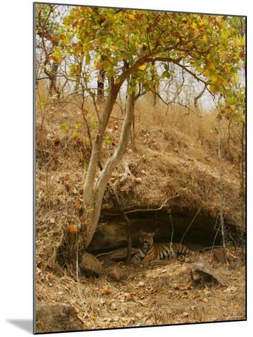 Bengal Tiger, Female in Cave, Madhya Pradesh, India-Elliot Neep-Mounted Photographic Print