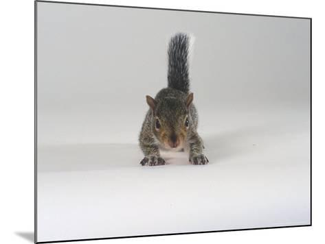 Grey Squirrel-Les Stocker-Mounted Photographic Print