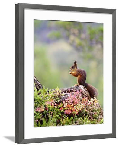 Red Squirrel, Adult Feeding on Hazelnut on Fallen Log in Forest in Autumn, Norway-Mark Hamblin-Framed Art Print