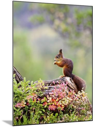 Red Squirrel, Adult Feeding on Hazelnut on Fallen Log in Forest in Autumn, Norway-Mark Hamblin-Mounted Photographic Print