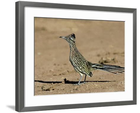 Greater Roadrunner, New Mexico-David Tipling-Framed Art Print