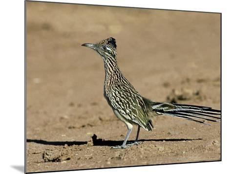 Greater Roadrunner, New Mexico-David Tipling-Mounted Photographic Print