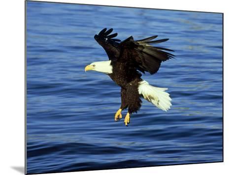 Bald Eagle, Feb, USA-David Tipling-Mounted Photographic Print