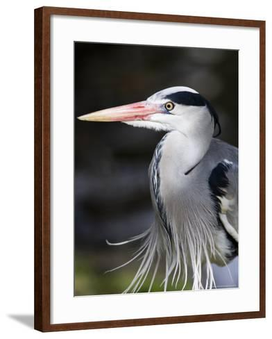 Grey Heron, Head and Chest Portrait Showing Breast Plumes, London, UK-Elliot Neep-Framed Art Print