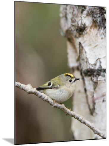 Goldcrest, Perched on Birch Branch with Fly in Bill, Lancashire, UK-Elliot Neep-Mounted Photographic Print