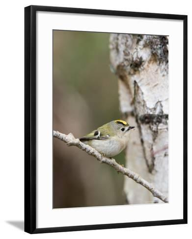 Goldcrest, Perched on Birch Branch with Fly in Bill, Lancashire, UK-Elliot Neep-Framed Art Print
