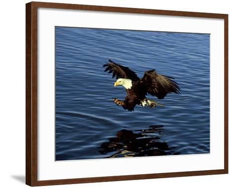 Bald Eagle, Hunting, USA-David Tipling-Framed Art Print