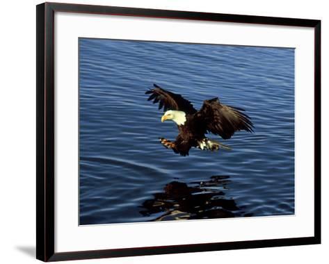 Bald Eagle, Hunting, USA-David Tipling-Framed Art Print
