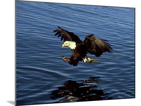 Bald Eagle, Hunting, USA-David Tipling-Mounted Photographic Print