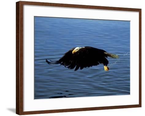 Bald Eagle, Feb, USA-David Tipling-Framed Art Print
