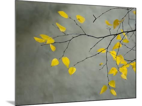 Yellow Autumnal Birch (Betula) Tree Limbs Against Gray Stucco Wall-Daniel Root-Mounted Photographic Print