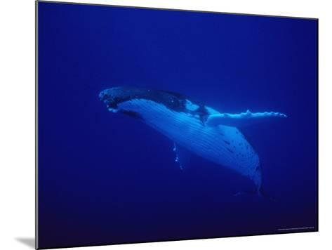 Humpback Whale, Underwater, Polynesia-Gerard Soury-Mounted Photographic Print