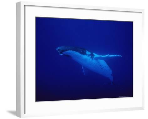 Humpback Whale, Underwater, Polynesia-Gerard Soury-Framed Art Print
