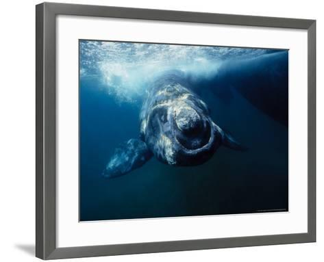 Southern Right Whale, Under Surface, Peninsula Valdes-Gerard Soury-Framed Art Print