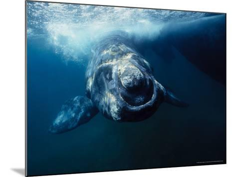 Southern Right Whale, Under Surface, Peninsula Valdes-Gerard Soury-Mounted Photographic Print