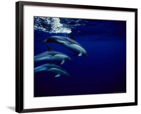 Short-Beaked Common Dolphin, Tenerife, Canary Isles-Gerard Soury-Framed Art Print