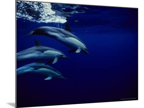 Short-Beaked Common Dolphin, Tenerife, Canary Isles-Gerard Soury-Mounted Photographic Print