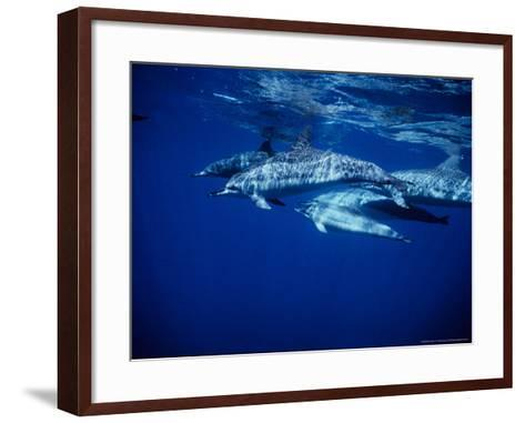 Long-Snouted Spinner Dolphin, Group, Brazil-Gerard Soury-Framed Art Print