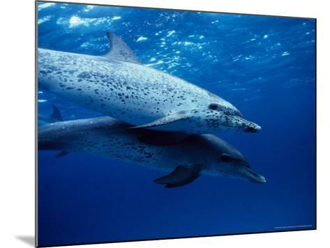 Atlantic Spotted Dolphins, Swimming, Bahamas-Gerard Soury-Mounted Photographic Print
