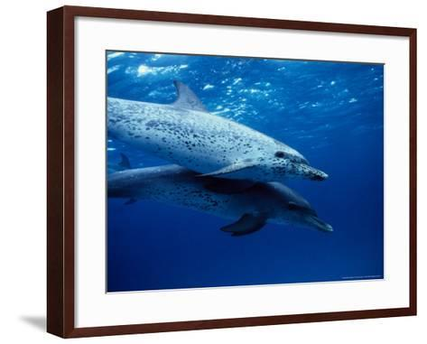 Atlantic Spotted Dolphins, Swimming, Bahamas-Gerard Soury-Framed Art Print