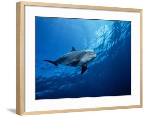 Bottlenose Dolphin, Underwater, Providenciales-Gerard Soury-Framed Art Print