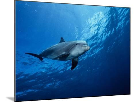 Bottlenose Dolphin, Underwater, Providenciales-Gerard Soury-Mounted Photographic Print